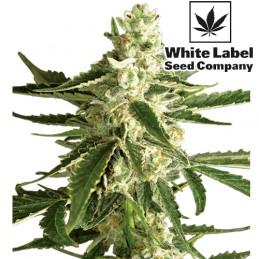 White Diesel Haze Automatizované (3 semienka) White Label