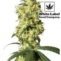 Konopné semená White Label Seed Company: White Widow Automatic (3 semienka)