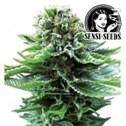 Northern Lights Automatic (3 semienka) - Konopné semená Sensi Seeds