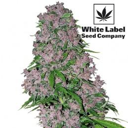 Purple Bud Feminised (5 semienok) - Konopné semená White Label Seed Company