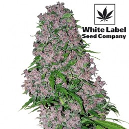 Konopné semená White Label Seed Company: Purple Bud Feminised (5 semienok)