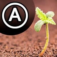 Automaticky kvitnúce marihuanové semená