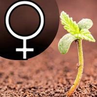 Feminizované marihuanové semená